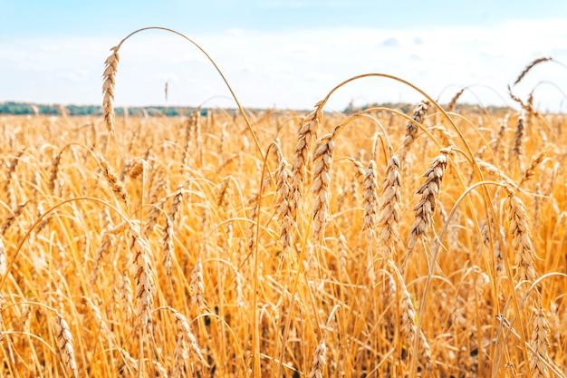 Anbau von weizen auf dem feld. die ländliche natur. landwirtschaftliche industrie. agrargeschäft