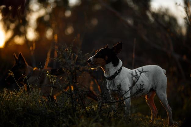 Andalusischer weinkeller-ratten-jagd-hundehundeschattenbild mit goldenem licht des sonnenuntergangs