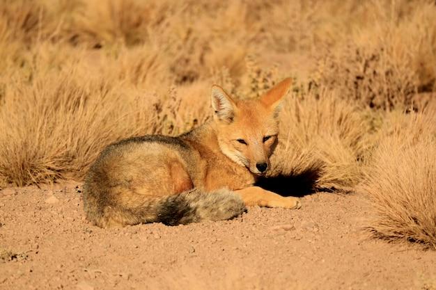 Andenfuchs, der sich im sonnenlicht zwischen wüstenbürstenpflanzen entspannt