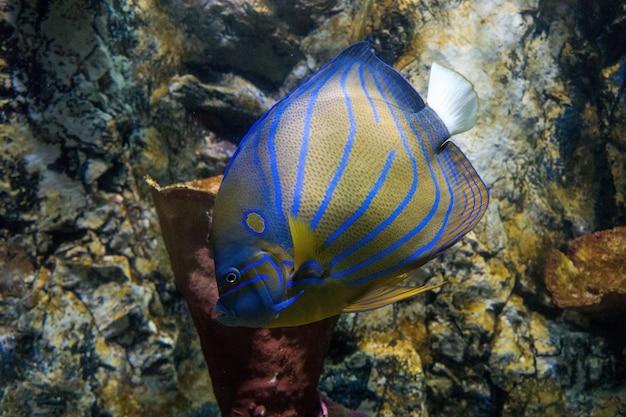 Angelfish reefish