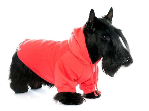 Angezogener schottischer terrier