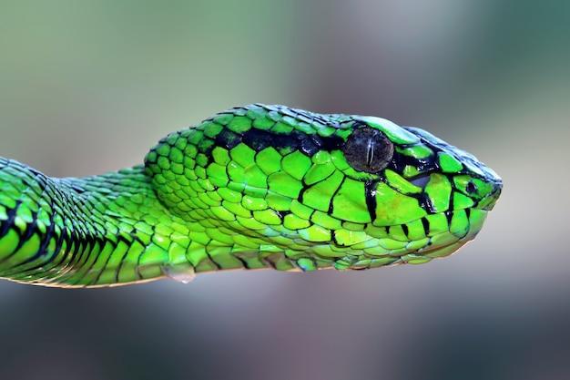 Angriff der grünen vipernschlange auf zweigtiernahaufnahme