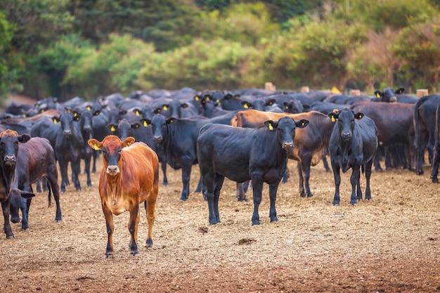Angus-rinderherde auf futterplatz in brasiliens land