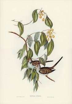 Anmutige bodentaube (geopelia cuneata) illustriert von elizabeth gould