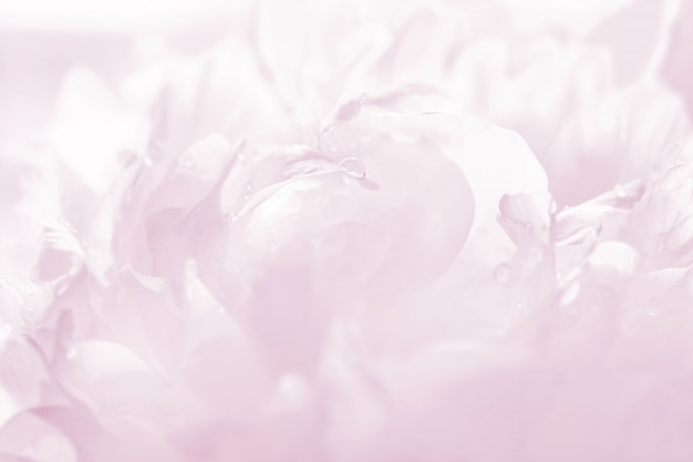 Anmutige pfingstrose in pastellrosa