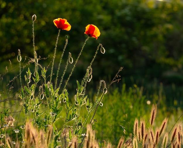 Anmutige rote zerbrechliche mohnblumen auf der wiese in einem wunderschönen sonnenuntergangslicht