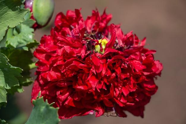 Anmutige rote zerbrechliche mohnblumen auf der wiese schöne blumen für eine geliebte sommeratmosphäre auf einem ...