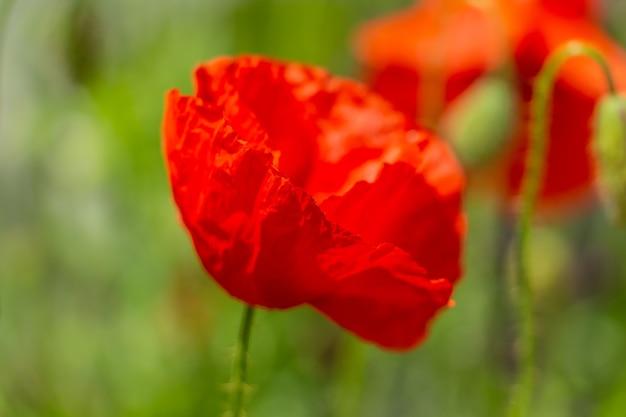 Anmutige rote zerbrechliche mohnblumen auf der wiese