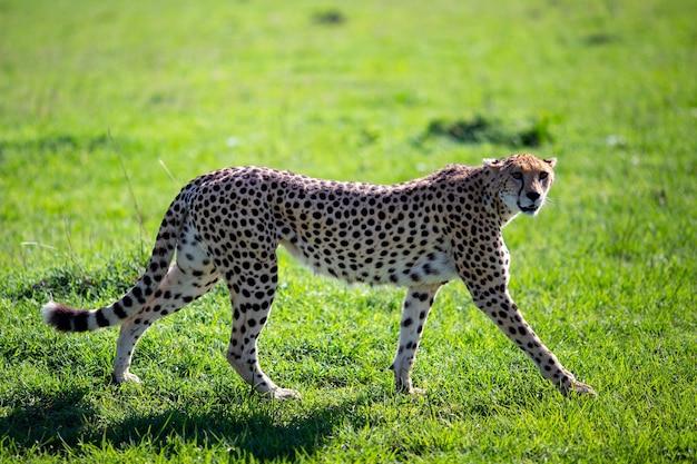 Anmutiger gepard, der auf einer wiese geht