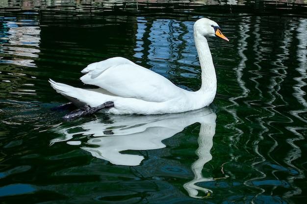 Anmutiger weißer schwan, der im see schwimmt