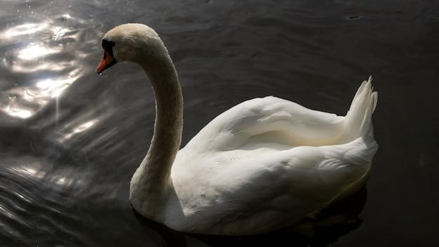 Anmutiger weißer schwan mit rotem schnabel, der im wasser schwimmt