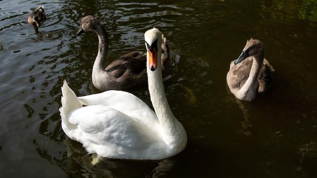 Anmutiger weißer schwan und braune enten schwimmen im wasser