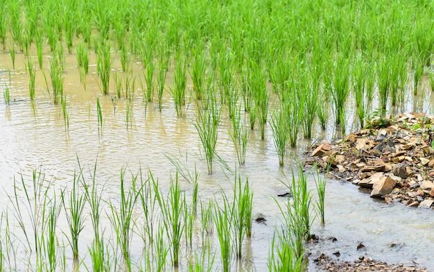 Anpflanzen von reis auf der asiatischen landwirtschaft der regenzeit