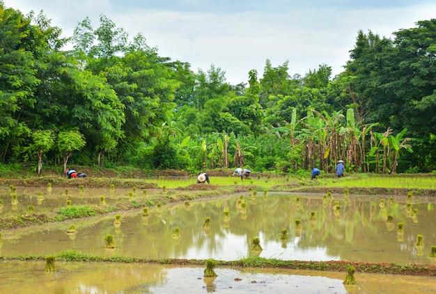 Anpflanzung von reis in der regenzeit asiatische landwirtschaft landwirt, der auf dem organischen ackerland des ungeschützten reises pflanzt
