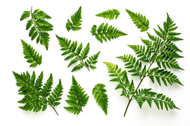 Ansammlung grüne farnblätter getrennt auf weißem hintergrund