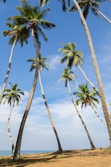 Ansicht der kokosnusspalmenwaldung an der küste.