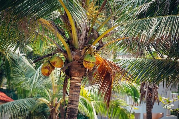 Ansicht der kokospalmen von unten, nahaufnahme. palme mit kokosnüssen im freien.