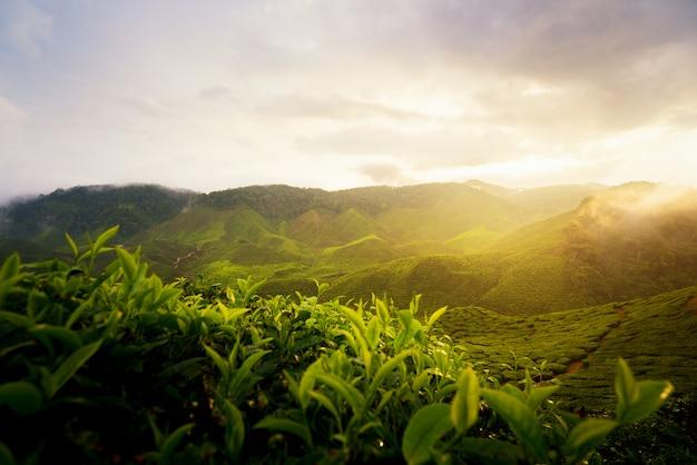 Ansicht der teeplantage in der sonnenuntergang- / sonnenaufgangzeit herein in cameron-hochländern, malaysia.