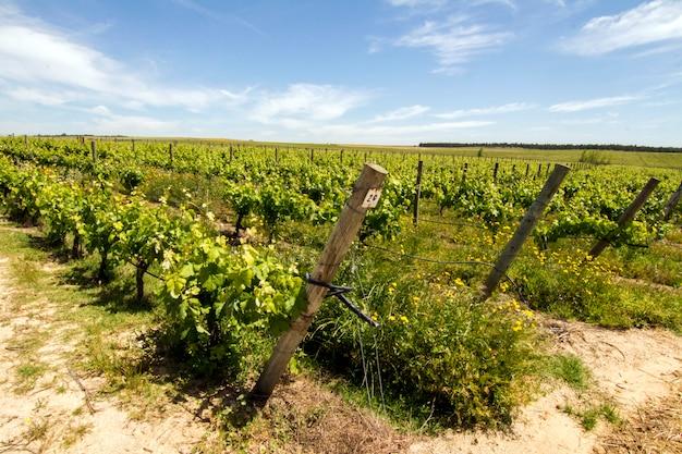 Ansicht der weinbergplantage in der alentejo-region, gelegen in evora, portugal.