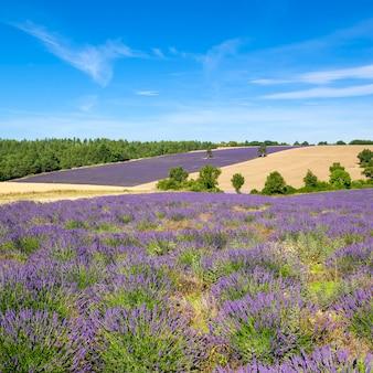 Ansicht des lavendelfeldes in der provence, frankreich