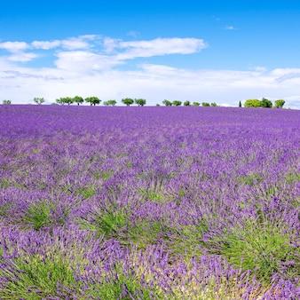 Ansicht des lavendelfeldes mit bäumen in der provence, frankreich