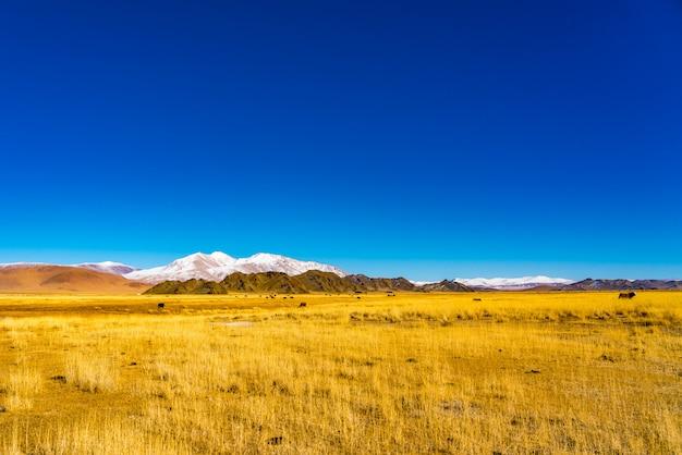 Ansicht einer herde der mongolischen kühe, die in einer gelben steppe weiden lassen
