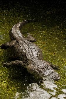 Ansicht eines ängstlichen amerikanischen alligators (alligator mississippiensis), der auf dem wasser schwimmt.