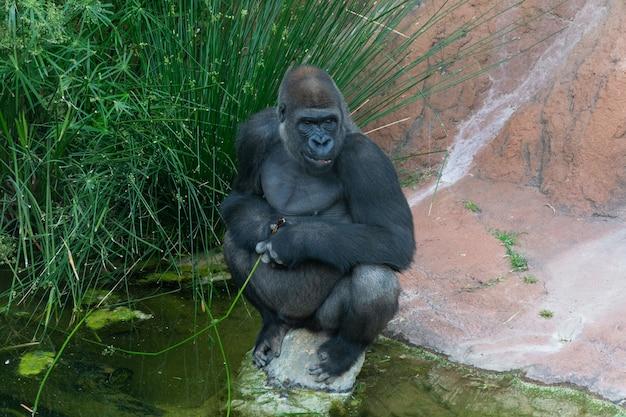 Ansicht eines gorillas, der auf einem felsen im zoo sitzt