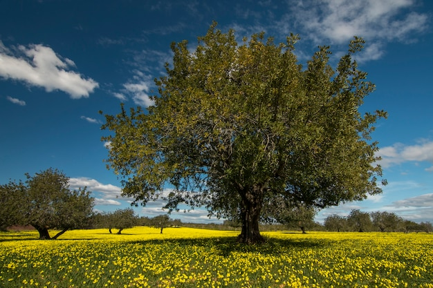 Ansicht eines johannisbrotbaumbaumobstgartens auf einem gebiet von gelben blumen in der landschaft von portugal.