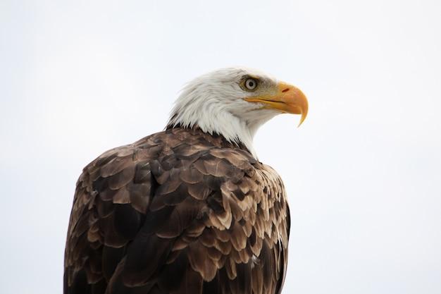 Ansicht eines raubvogels des amerikanischen kahlen adlers auf ein haus.