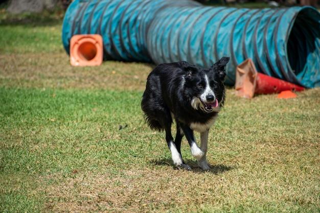 Ansicht eines schwarzweiss-hundes, der in einem park spielt, der an einem sonnigen tag gefangen genommen wird