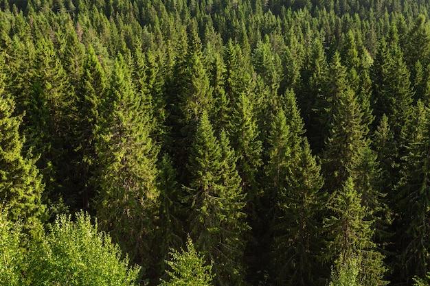 Ansicht von oben auf den schönen kiefernwald in sortavala, karelien.