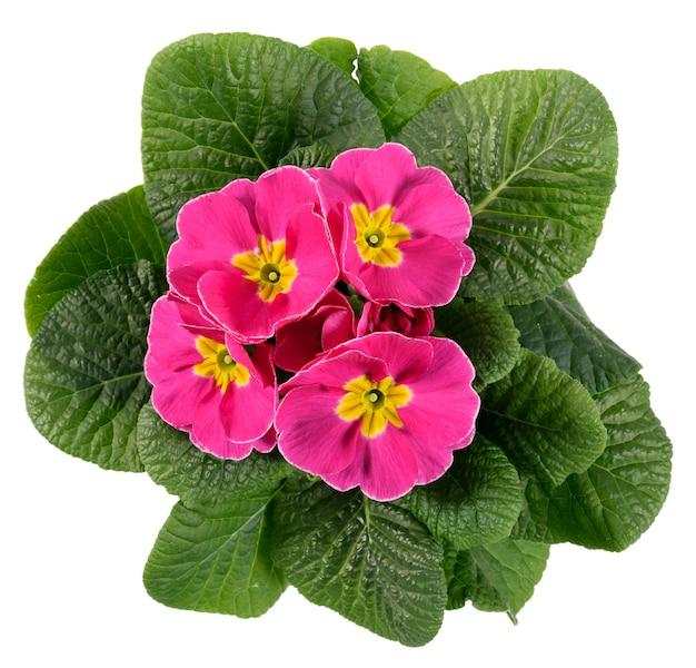 Ansicht von oben nach unten auf einer blühenden bunten rosa und gelben primel oder primel mit frischen dunkelgrünen blättern, die auf weiß für saisonale frühlings- und sommer-, garten- oder gartenbauthemen isoliert werden