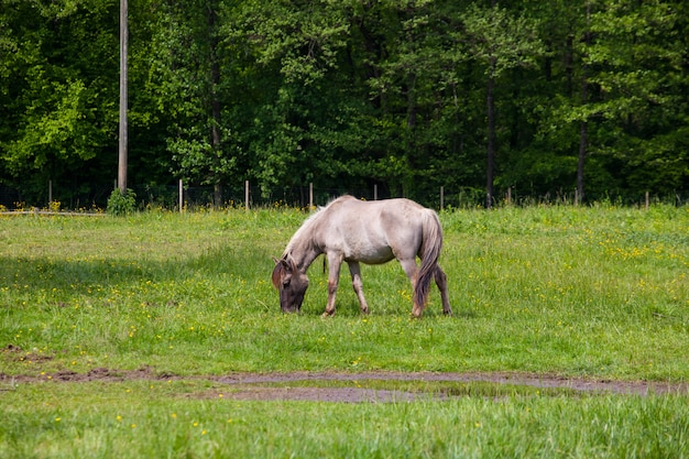 Ansicht von tarpan, wilde pferde