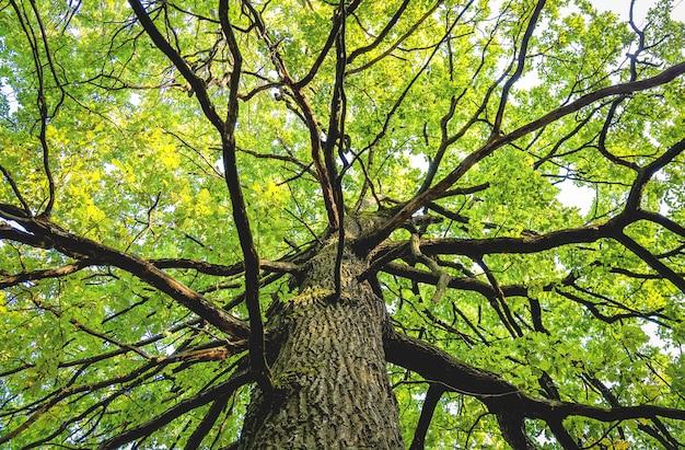 Ansicht von unten von einem lagre ahornbaum mit laub