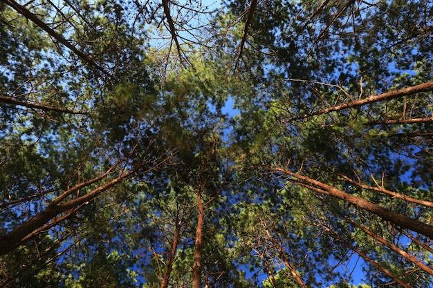 Ansicht von unten von hohen alten bäumen im immergrünen urwald