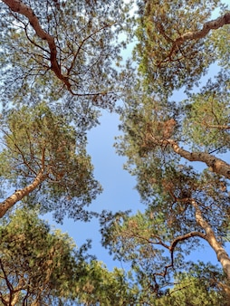 Ansicht von unten von hohen fichten und grünen nadeln gegen hintergrund des blauen himmels