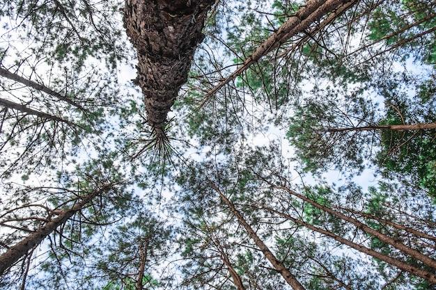 Ansicht von unten von wilden kiefern.