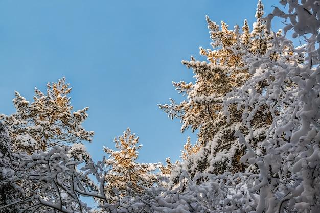 Ansicht von unten zum streben herauf die oberteile der schneebedeckten kiefern am sonnigen wintertag.