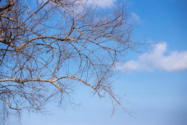 Ansichten des trockenen niederlassungsbaums mit blauem himmel
