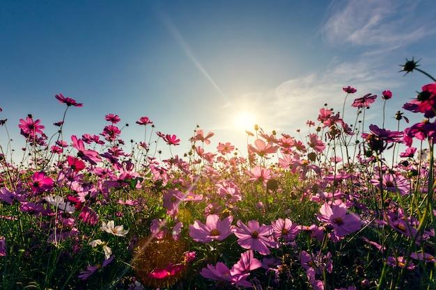 Ansichtkosmosblumen- und -himmelsonnenuntergang