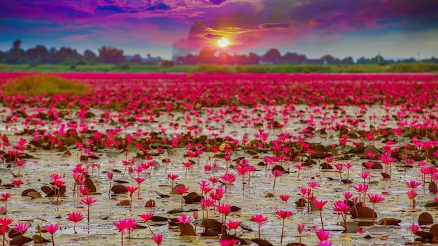 Ansteigende lotosblume des sonnenscheins in thailand
