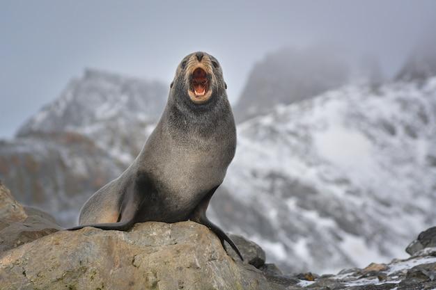 Antarktischer seelöwe, der sein territorium schützt