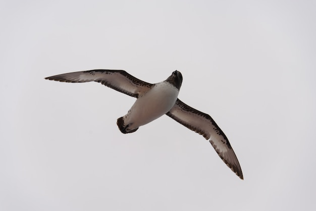 Antarktischer sturmvogel (thalassoica antarctica)