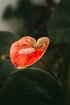 Anthurium rote blume pflanze