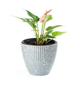 Anthuriumblumen und grüne blätter lokalisiert auf weißem hintergrund.