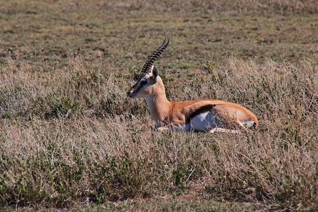 Antilope auf safari in kenia und tansania, afrika