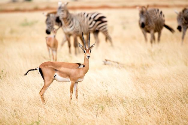 Antilope und einige zebras in der savanne von kenia