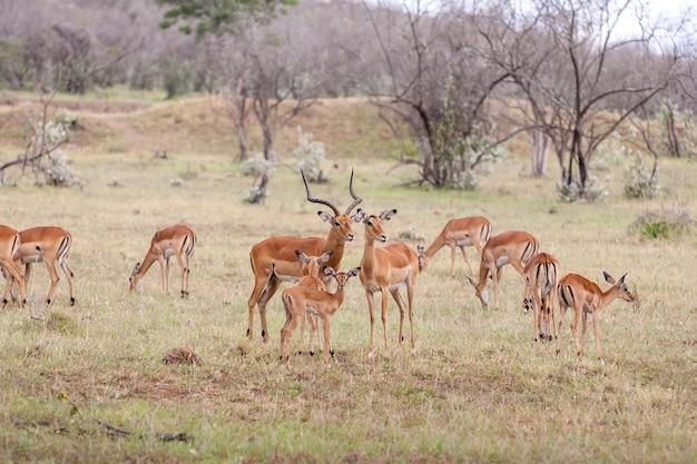 Antilopen auf einem hintergrund des grünen grases
