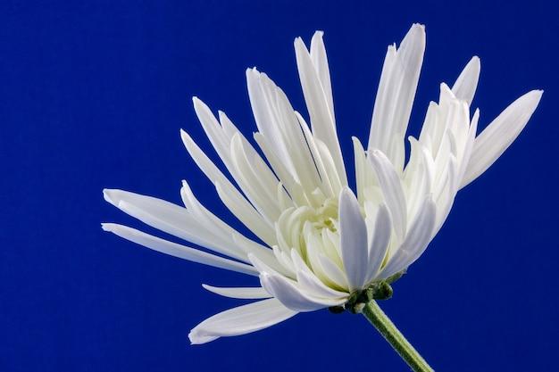 Anzeige einer einzelnen weißen chrysantheme vor einem königsblauen hintergrund